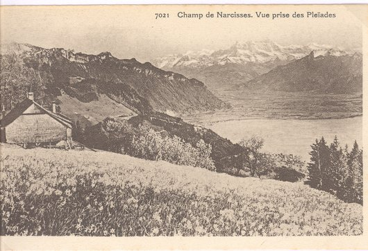 Champ de narcisses aux Pléiades