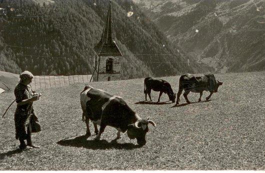 Chandolin, vaches patchiolées