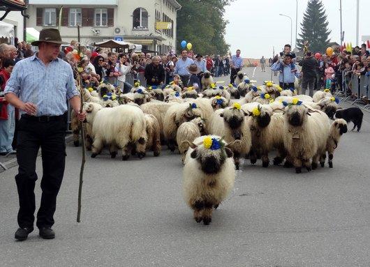 Désalpe de Semsales - Moutons Nez Noirs du Valais (1)