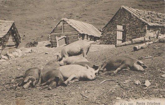 Truies et porcs à la sieste
