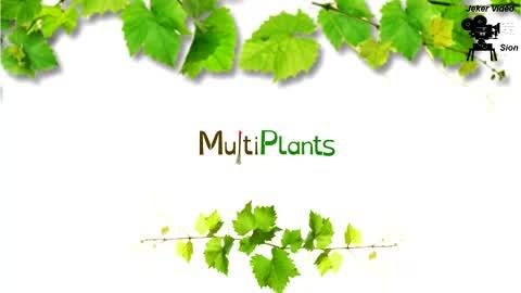 Production de plants de vigne résistant au phylloxera