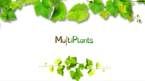 Plantation plants de vigne greffés: techniques modernes