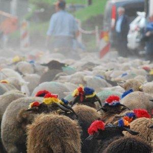 Désalpe des moutons